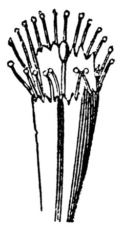 A picture showing Linnaeus Polyadelphia. This is the sexual system of a plant and here having stamens united in three or more bundles, vintage line drawing or engraving illustration. Иллюстрация