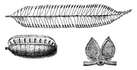 Marattia is a genus of eusporangiate ferns. The plants are large and terrestrial, vintage line drawing or engraving illustration.