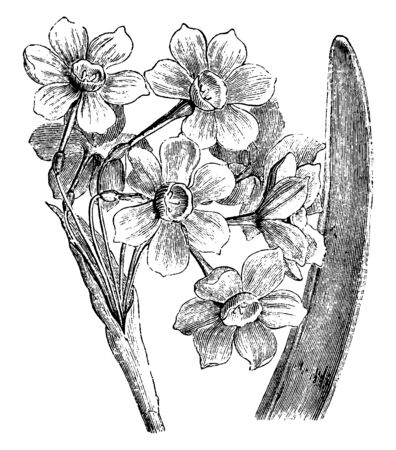 Flowers are scented and are approximately one inch long when expansions which bloom in March. The common name of narcissus tazetta is polyanthus narcissus, vintage line drawing or engraving illustration.
