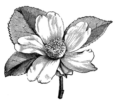 This is a flower of Camellia Oleifera. It is an evergreen small tree with dark green leaves. It has fragrant white flowers, vintage line drawing or engraving illustration.