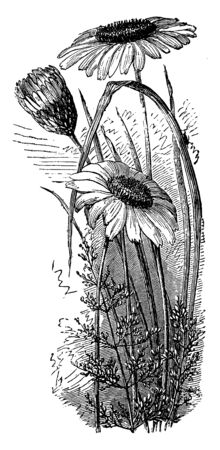 A picture is showing Common Daisy, also known as Bellis perennis. It belongs to the Asteraceae family. In this: Two daisies are full bloom and one is partially closed, vintage line drawing or engravin 일러스트