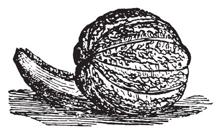 This fruit is also known as Muskmelon. It has a very delicate flavour, vintage line drawing or engraving illustration.