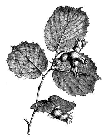 A picture is showing Fruiting Branchlet of Filbert. It makes nuts as like the Hazelnut. This is a edible nut of certain cultivated varieties of hazel, vintage line drawing or engraving illustration.