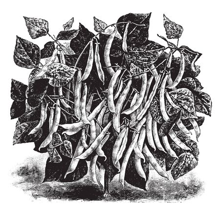 This is a Hobson Wax Beans plant. The leaves are pinnate, divided into 3 leaflets. There are many pods on these boughs, vintage line drawing or engraving illustration. Standard-Bild - 132833635