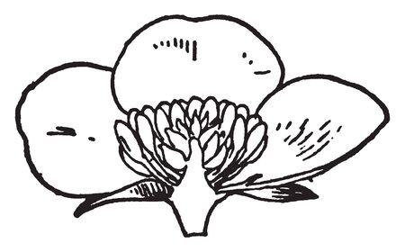 The showing picture of half flower part. The flower sepal, petal, stamen, attached on flower axil. Stamens on receptacle below ovary, vintage line drawing or engraving illustration. Иллюстрация