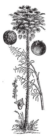 A picture of Cornahuba palm which is a South American fan palm mostly found in Carnaubais in flood zones or near rivers, vintage line drawing or engraving illustration. 写真素材 - 132834022