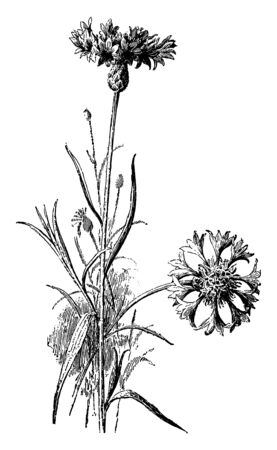 Cornflower is an annual Eurasian plant cultivated in North America. It is has showy heads of blue or purple or pink or white flowers, vintage line drawing or engraving illustration. 일러스트