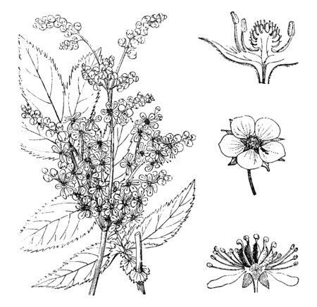 A picture shows that Spiraea ulmaria is a unique flower, also known as meadowsweet, vintage line drawing or engraving illustration. Stock fotó - 132834546