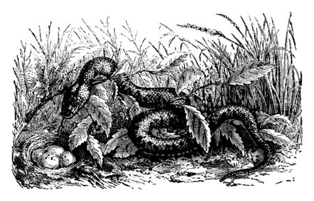 Ringed Snake is a harmless species of colubrid snake found throughout much of the United States, vintage line drawing or engraving illustration.