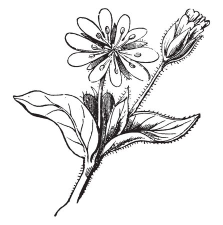 A picture is showing Decandrous Flower. This flower has ten petals and stamens. This plant has small thorns on branch, vintage line drawing or engraving illustration.