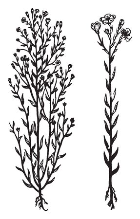 New Zealand flax plant information indicates that tubular, showy flowers appear on erect stems but only in their native region and rarely in greenhouse care, vintage line drawing or engraving illustration. Ilustração