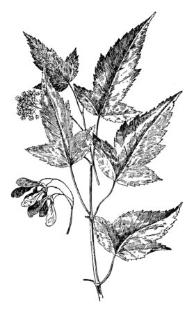 This is woody stem of Acer Ginnala and also known as Amur maple. Seeds and flower also seen there. Flowers are yellowish and fragrant, vintage line drawing or engraving illustration.