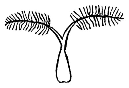 This pictures of spiked wood grass, it look like tree, branches are thin and short, vintage line drawing or engraving illustration. Ilustração