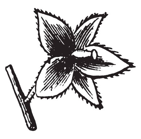 An image of Frostweed flower. His petals of flower are Thorny, vintage line drawing or engraving illustration.