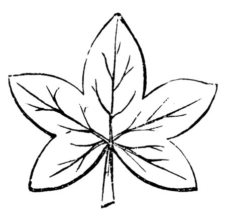A palmatifid leaf is hand shaped with the lobes half-way to the base, vintage line drawing or engraving illustration.