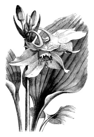 A picture is showing Leaves and Inflorescence of Eucharis Grandiflora. It belongs to Amaryllidaceae family. Flowers are white and bulb is egg shaped, vintage line drawing or engraving illustration.