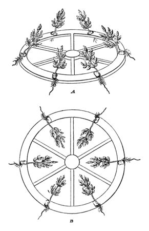 A picture showing the Knights experiment, which replaced the centrifugal force by gravity, showed that the stems do not grow upwards due to sunlight, but that the roots grow downwards due to gravity, vintage line drawing or engraving illustration.