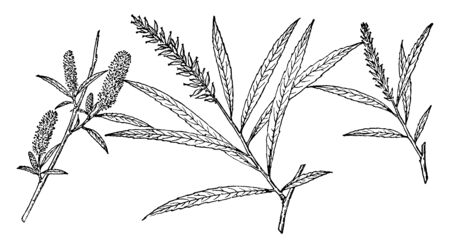 A branch of Salix Fluviatilis known by the name northwest sandbar willow. It is native to the west coast of North America from British Columbia and the US states of Washington and Oregon, vintage line drawing or engraving illustration.