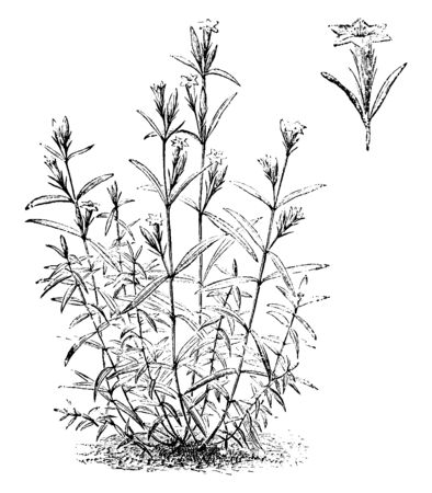 A picture is showing Habit and detached Single Flower of Gentiana Pneumonanthe, also known marsh gentian. It is wind flower. It found in marshes and moorlands. Flowers are deep blue and funnel-shaped, vintage line drawing or engraving illustration. Stock Illustratie