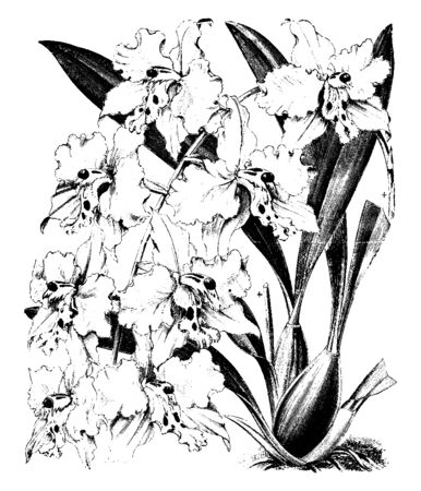 It is considered by many to be the most beautiful orchid of all but is also one of the most difficult to grow. Odontoglossum crispum flowers have pure white sepals and petals and a yellow lip, vintage line drawing or engraving illustration.