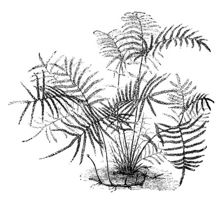 A picture of Gleichenia Circinata and also known as pouched coral fern or tangle fern, vintage line drawing or engraving illustration. 일러스트