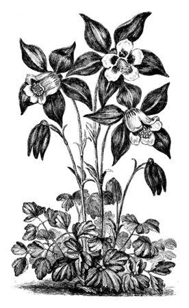 A picture shows Aquilegia Glandulosa Flower plant. The sepals, or outer part of the aquilegia Glandulosa flower, are a bright lilac blue and white petal, vintage line drawing or engraving illustration.