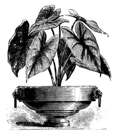 This is an image of Caladium Chantinh. Its leaves are brilliant crimson with white blotches and heart shaped, vintage line drawing or engraving illustration. Ilustração