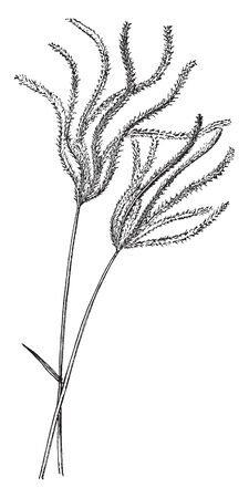 This is image of Chloris Polydactyla . It is mostly found in the tropics of both hemispheres. It is a perennial and grows one to three feet tall, vintage line drawing or engraving illustration.