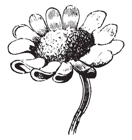 A picture is showing Daisies. This is a mountain daisy. It native to New Zealand and belongs to sunflower family. These flowers are small, vintage line drawing or engraving illustration.