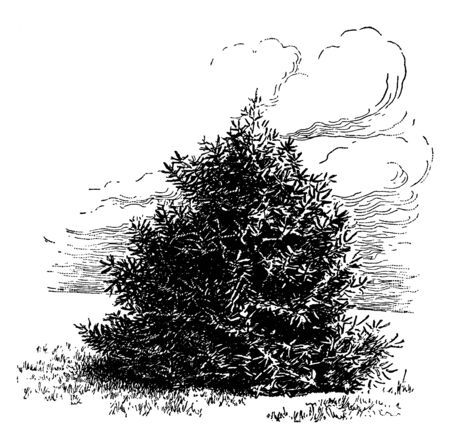Spanish Fir tree also called as Abies Pinsapo is an evergreen tree. Mostly found in mountains of Spain and Morocco, vintage line drawing or engraving illustration.