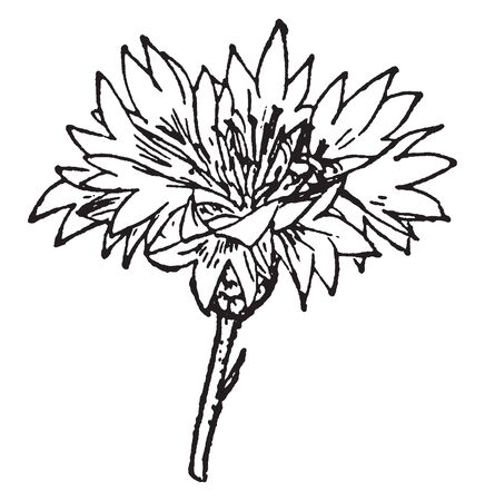A picture is showing Capitulum. This is a Capitulum of Cornflower, in the Compound flower anatomy, vintage line drawing or engraving illustration.