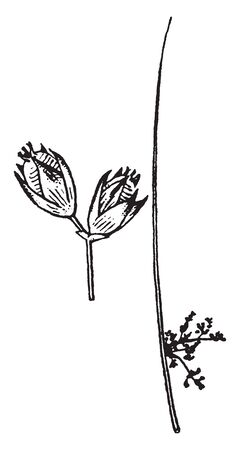 An illustration of the detached flowers or fruits manifest, it is the largest genus in the family Juncaceae and almost has 300 species, vintage line drawing or engraving illustration. Illustration