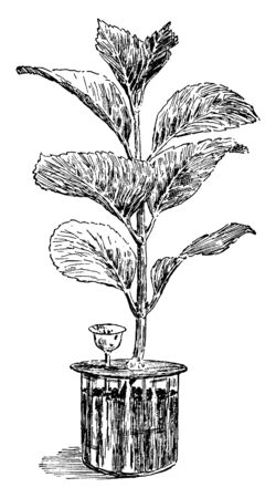 The image shows a Hydrangea used for an experiment. They can be either deciduous or evergreen, though the widely cultivated temperate species are all deciduous. Most are shrubs 1 to 3 meters tall, vintage line drawing or engraving illustration. Иллюстрация