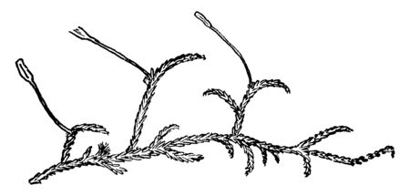 An image of peat moss. This peat moss is commonly known as sphagnum. Accumulations of peat moss can store water, since both living and dead plants can hold large quantities of water inside their cells, vintage line drawing or engraving illustration. Illustration