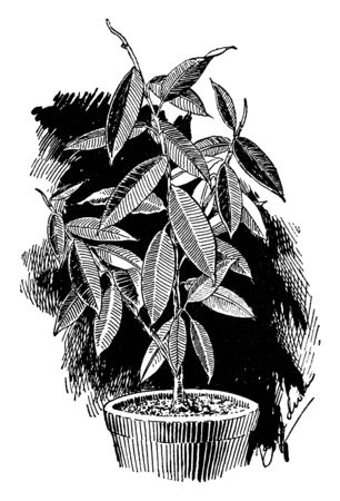 A picture is showing Ficus Elastica, known as Rubber Fig. It is native to east India, Nepal, Bhutan, Burma and China. It belongs to Moraceae family and species of plant belonging to the Fig genus, vin
