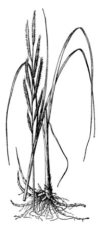 Picture shows the Michauxiana Spartina Plant. Flowers are Monoecious and they are pollinated by Wind. It is also called as Cordgrass, cord-grass and It grow large, quickly. It belongs to grass family, vintage line drawing or engraving illustration.