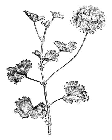 Pelargonium Zonale is an upright or scrambling shrub, normally growing to about 1 m. Its stems are succulent, hairy when young becoming woody with age. The leaves often have a dark mark shaped, vintag  イラスト・ベクター素材