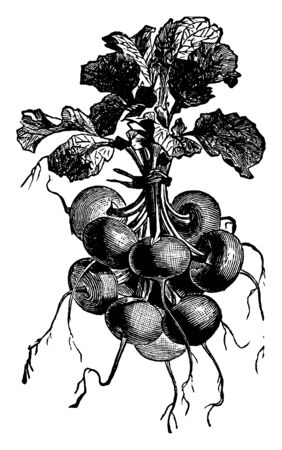 Scarlet Turnip Radish is genus of radish. It is come in many shapes and sizes, vintage line drawing or engraving illustration. Ilustrace