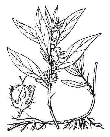 This picture is showing flower with stem flowers, leaves & spine with its axils, vintage line drawing or engraving illustration.