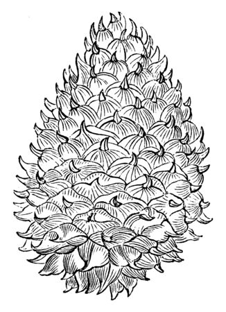A picture showing Table mountain pine which is the common name of Pinus Pungens. The cones are light yellowish brown, large and top shaped, vintage line drawing or engraving illustration.