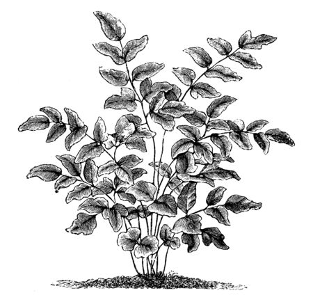 This is Pellaea Hastata plant. They are segmented into triangular, asymmetrical leaves on short petioles. The common name of pellaea is cliff brake fern. To protect from direct sunlight, vintage line drawing or engraving illustration.