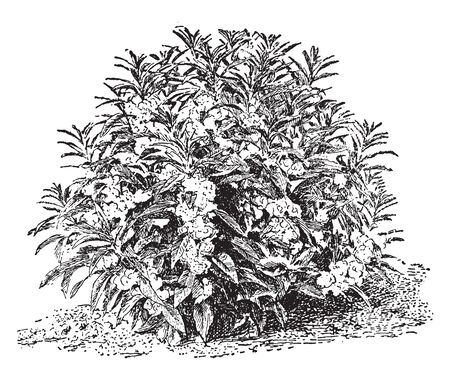 It is annual growing plant, leaves are spiral arranged. The leaves are long and pointed. Flowers density is high, vintage line drawing or engraving illustration.