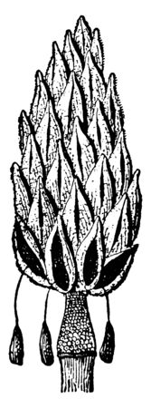 This is a matured fruit of Magnolia flora in the shape of a cone, vintage line drawing or engraving illustration.