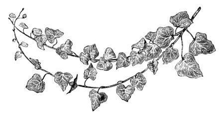 It is from ivy family and it leaves is fast grower, vintage line drawing or engraving illustration.