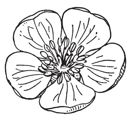 A picture shows apple flower. Leaves are flat and circular shaped and stamen's or filaments are present at the center. Pollein sac is present at the apex of stamen and fine lines are present on leaves, vintage line drawing or engraving illustration.