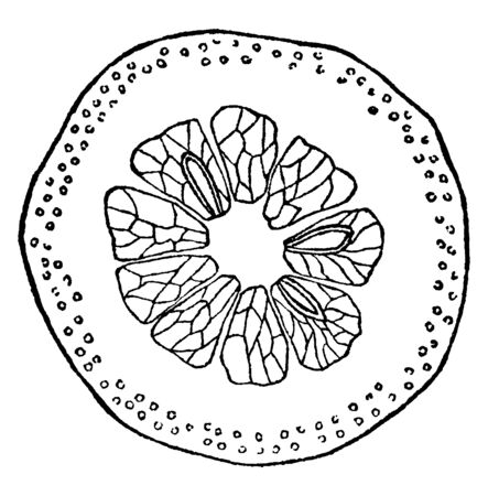 A picture showing the section of Hesperidium which a fruit with sectioned pulp inside a separable rind, vintage line drawing or engraving illustration.