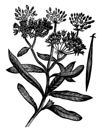 A picture is showing Butterfly Weed. it also known as Asclepias tuberosa. It belongs to Milkweed Family, Asclepiadaceae. A flower has bright-orange color and leaves are long and pointed, vintage line drawing or engraving illustration. 일러스트