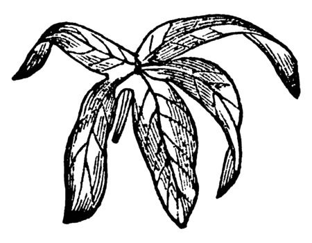 The whole structure of palmate leaf is palm-like and shaped like the palm of your hand, vintage line drawing or engraving illustration.