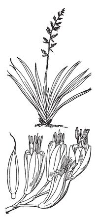 New Zealand Flax is a liliaceous plant bearing tough The two species are widely known in New Zealand as flax and elsewhere as New Zealand flax or flax lily but are not related to flax, vintage line drawing or engraving illustration.