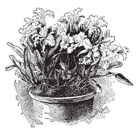 Kwiaty Cattleya Mendelii mają bardzo jasne płatki i płatki lawendy na bogatej fioletowej wardze, vintage rysowanie linii lub grawerowanie ilustracji.